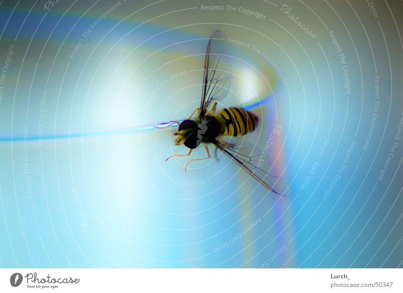 Die Schwebefliege Wespen Biene Weinglas Makroaufnahme schwebefliege Glas blau