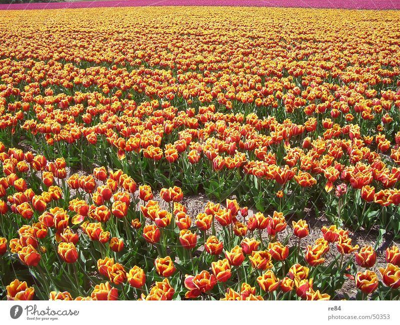 tulpenreihen holland 1 Niederlande Tulpe mehrfarbig rot gelb Feld grün Umwelt Reifezeit Wachstum gedeihen Muster Farbe orange Ackerbau bloom Blütenknospen