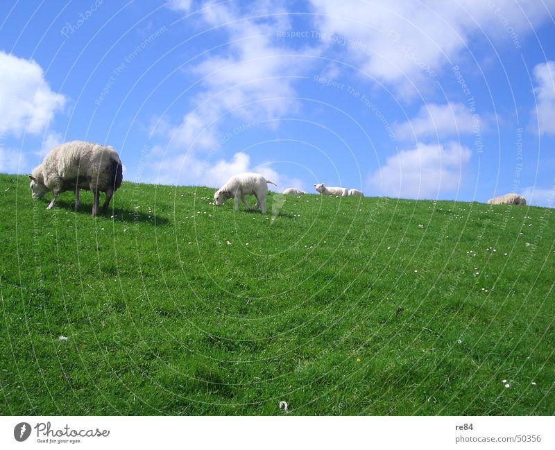 Faulenzen als Gruppenzwang bei Schafen Niederlande Wattenmeer Deich grün Wiese Wolken Gras Wolle Tier ruhig Langeweile weiß Erholung Eindruck schaaf Himmel