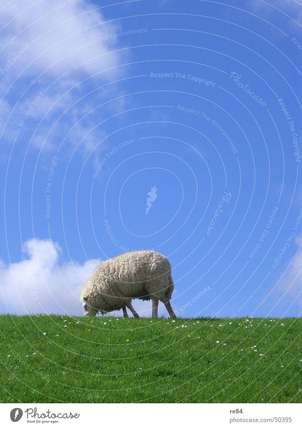 Sven Bomwollen ! live ! Niederlande Wattenmeer Deich grün Wiese Wolken Gras Wolle Tier ruhig Langeweile weiß Himmel Insel Nordsee blau Texel