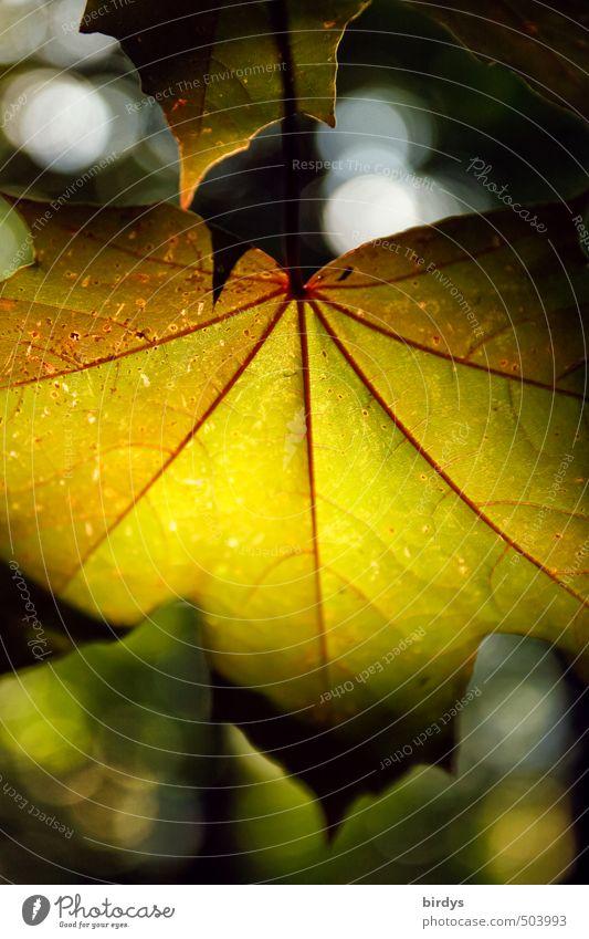 Herbstlichter Natur schön Pflanze ruhig Blatt leuchten ästhetisch weich Frieden Herbstlaub positiv Ahornblatt Lichteinfall Farbenspiel lichtvoll