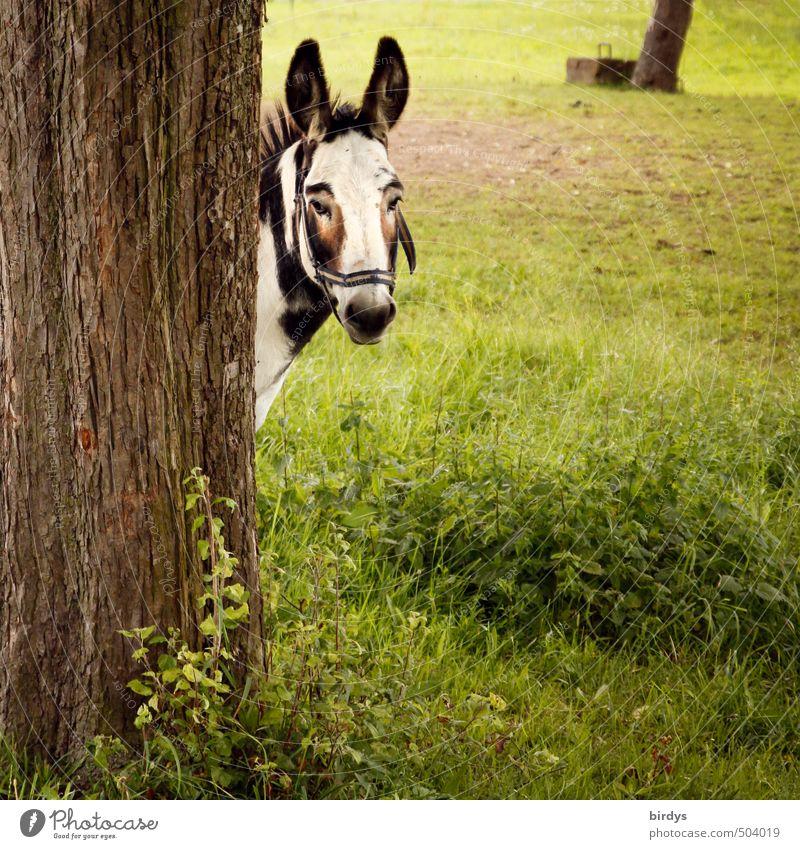 Du schon wieder... Sommer Baum Wiese Nutztier Esel Muli 1 Tier beobachten Blick ästhetisch lustig Partnerschaft Kontakt Neugier Pferd Ohr scheckig