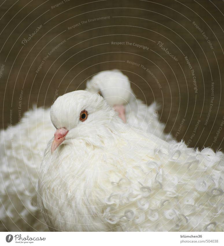 Ganz in Weiß Vogel Taube Tiergesicht Flügel Feder Federvieh Lockentaube Kopf Schnabel Tierzucht Auge beobachten Blick stehen elegant schön natürlich weiß