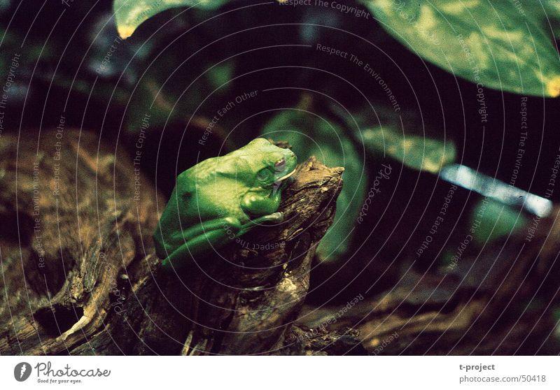 Laubfrosch grün Terrarium