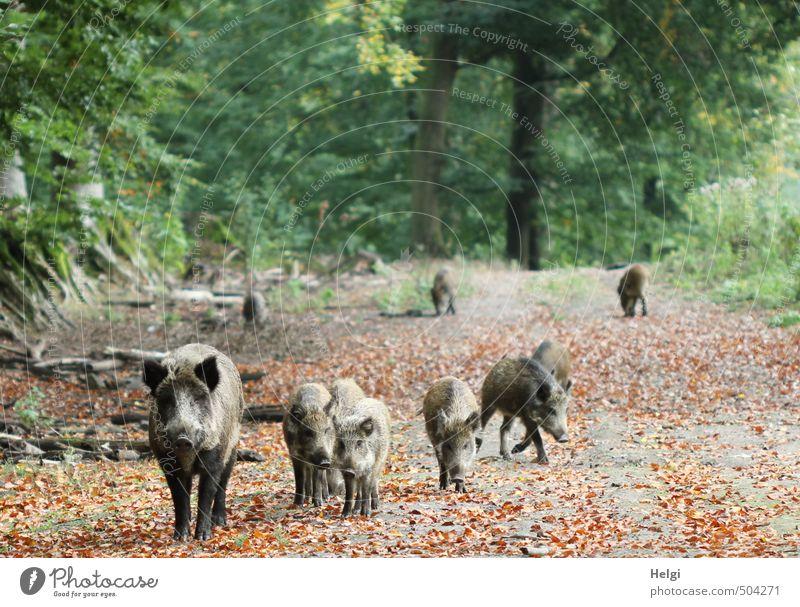 eine Wildschweinfamilie läuft im Herbst auf einem Waldweg entlang Umwelt Natur Landschaft Pflanze Tier Baum Blatt Herbstlaub Wildtier Frischling Tiergruppe