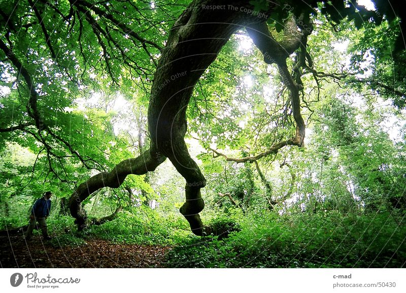 Baumriese am Lough Erne Mensch grün Sommer Farbe Wald Holz Landschaft wandern Nordirland Laubwald