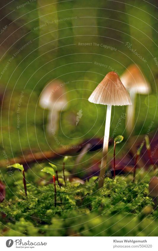 Al funghi Lebensmittel Vegetarische Ernährung Pflanze Wassertropfen Herbst Moos Wald stehen braun grün Pilz Pilzhut Pilzstiel Moospolster Farbfoto Außenaufnahme