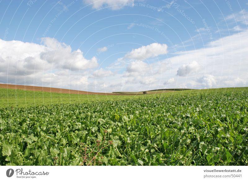 landwirtschaft Landwirtschaft grün Feld Rüben Wolken blau Natur Leben Himmel