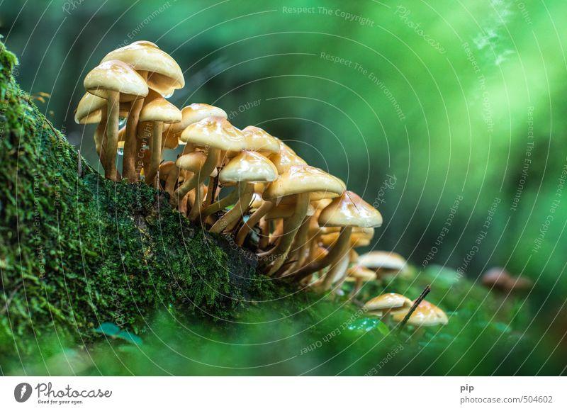 druidentreffen im karnutenwald Natur Herbst Schönes Wetter Moos Wald frisch schön gelb grün Stockschwämmchen Pilz Pilzhut mehrere Kolonie Ernährung essbar