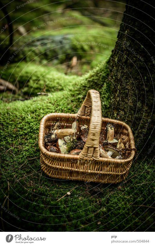 schwammerlsammler Natur Pflanze Herbst Moos Pilz Maronenröhrling Wald frisch braun grün Essen Ernährung Sammlung Korb feucht Farbfoto Gedeckte Farben