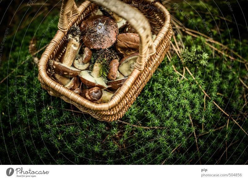 auf pilzjagd Natur Pflanze Herbst Moos Moosteppich Pilz Pilzsucher Maronenröhrling Wald Korb frisch braun grün voll wild ansammeln Ernährung essbar Pilzhut