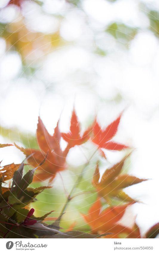 herbstgeflüster ll Herbst Blatt Wandel & Veränderung Natur Menschenleer Ahorn Ahornblatt Färbung