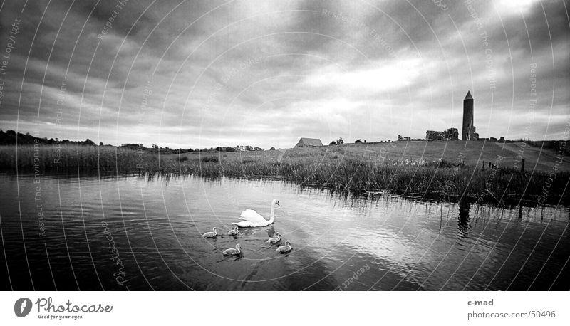 Derwenish Island mit Schwaenen Nordirland Bauwerk Ruine Kelten Friedhof Grab Wolken schwarz weiß Sommer Tier Schwan Fluss Turm Baustelle Kloster Rücken
