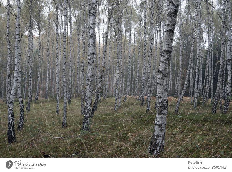 Pflanze   Pilzwald Natur Baum Landschaft Wald Umwelt Herbst natürlich Birke Birkenwald