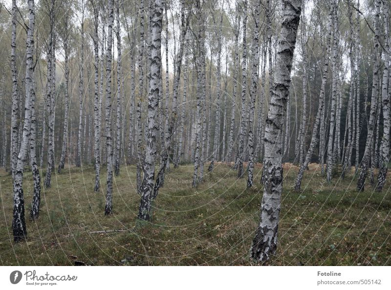 Pflanze | Pilzwald Umwelt Natur Landschaft Herbst Baum Wald natürlich Birkenwald Farbfoto Gedeckte Farben Außenaufnahme Menschenleer Tag