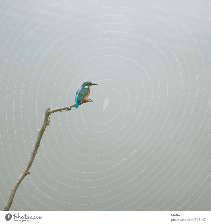 Mr Iceman himself again Natur Wasser Tier Umwelt Freiheit grau klein See natürlich Vogel sitzen Wildtier frei niedlich Pause Ast