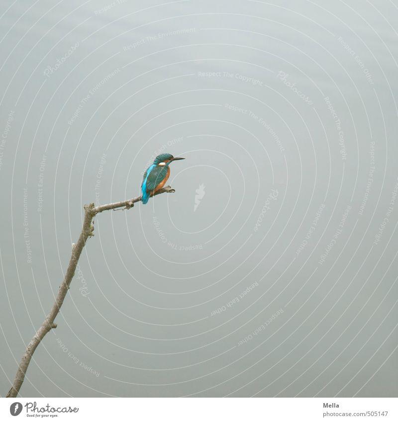 Mr Iceman himself again Umwelt Natur Tier Wasser Ast Zweig Seeufer Teich Wildtier Vogel Eisvögel 1 hocken Blick sitzen frei klein natürlich niedlich grau