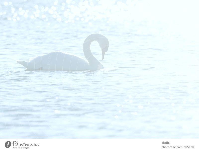 Tagtraum Umwelt Natur Tier Wasser Wellen Teich See Wildtier Vogel Schwan 1 Schwimmen & Baden hell natürlich blau Stimmung Romantik träumen Kitsch grell blenden