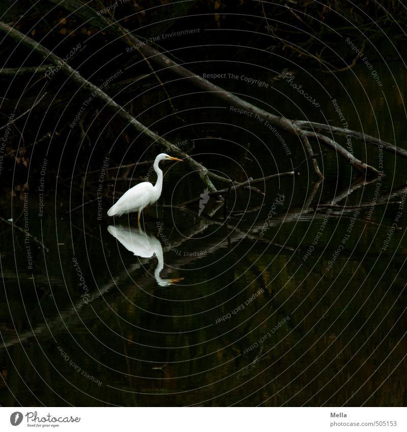 Obenunten Umwelt Natur Pflanze Tier Wasser Baum Ast Seeufer Teich Wildtier Vogel Reiher Silberreiher 1 stehen dunkel natürlich Stimmung geheimnisvoll ruhig