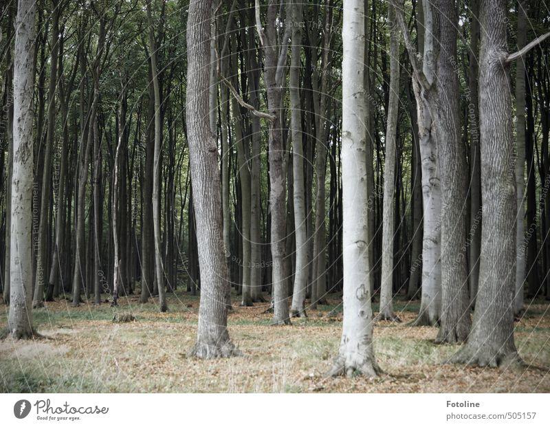 Gespensterwald Umwelt Natur Landschaft Pflanze Herbst Baum Wildpflanze Wald kalt natürlich spukhaft Buchenwald Farbfoto Gedeckte Farben Außenaufnahme