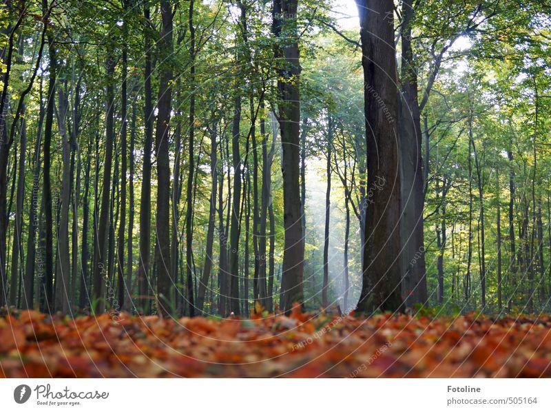 Buchen sollst du suchen! Umwelt Natur Landschaft Pflanze Herbst Baum Blatt Wald hell hoch natürlich Buchenwald Buchenblatt Farbfoto mehrfarbig Außenaufnahme Tag
