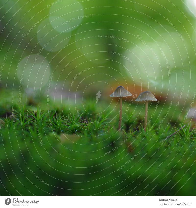 Neulich im Wald ... Natur Pflanze Herbst Pilz Pilzhut Moos Moosteppich stehen Wachstum klein lecker natürlich schleimig braun grün Lebensmittel Gemüse Ernährung