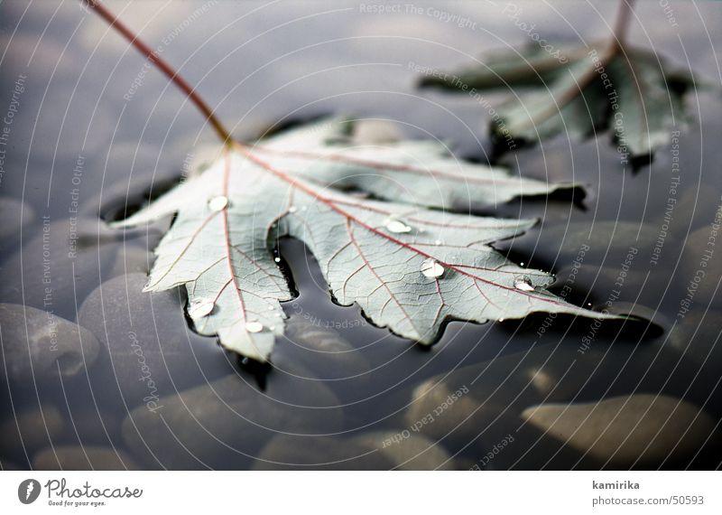 ahornblatt Wasser Baum Blatt Herbst Stein Stimmung Wassertropfen fallen Gefäße Ahorn
