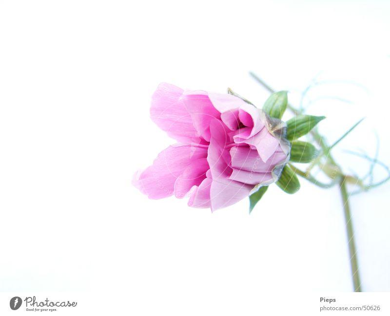 Rosa Entfaltung (2) Sommer Natur Pflanze Blume Blüte Blühend frisch rosa weiß Vergänglichkeit zierlich Entwicklung Blütenknospen flower Wachstum Farbfoto