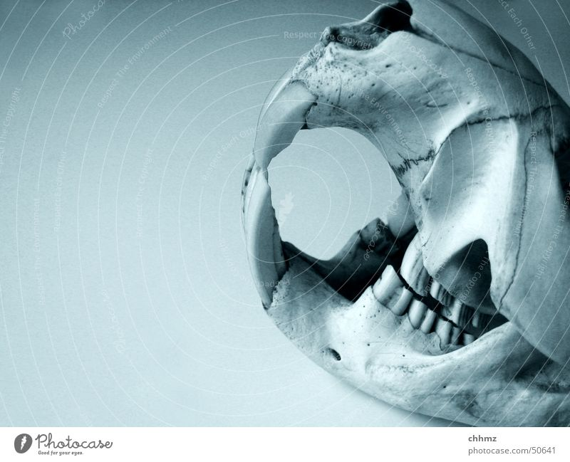 Biber I Fluss Gebiss beißen Nagetiere Skelett Schädel Anatomie nagen