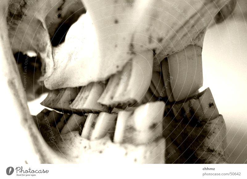 Biber II Fluss Gebiss beißen Nagetiere Skelett Schädel Anatomie nagen Biber