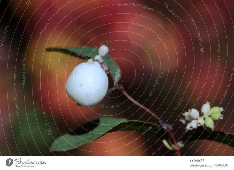 Schneebeere Natur Pflanze grün weiß rot Blatt ruhig Umwelt gelb Herbst Lampe Garten Stimmung Park Feld Frucht