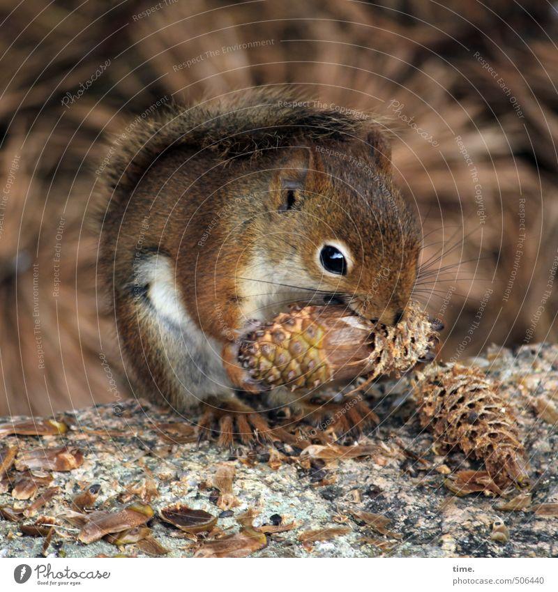 Leckeres | Die längste Praline der Welt Umwelt Natur Wald Tier Wildtier Tiergesicht Eichhörnchen 1 beobachten berühren festhalten Fressen hocken