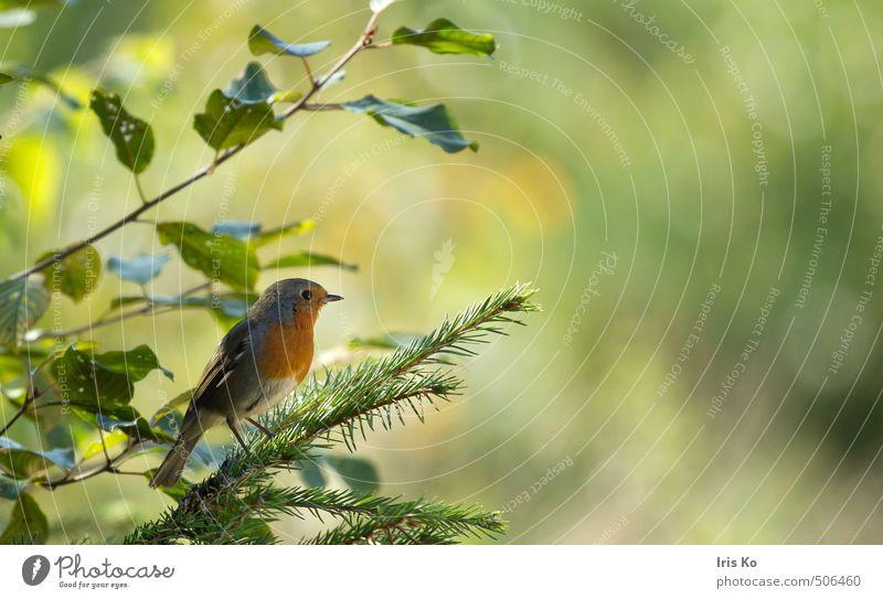 little robin Natur schön grün Sommer ruhig Tier Wald Wärme natürlich Glück klein Freiheit Stimmung Vogel orange Zufriedenheit