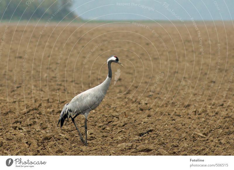 Kranich Umwelt Natur Landschaft Tier Urelemente Erde Sand Herbst Feld Wildtier Vogel 1 nah natürlich braun grau schwarz Farbfoto Gedeckte Farben Außenaufnahme