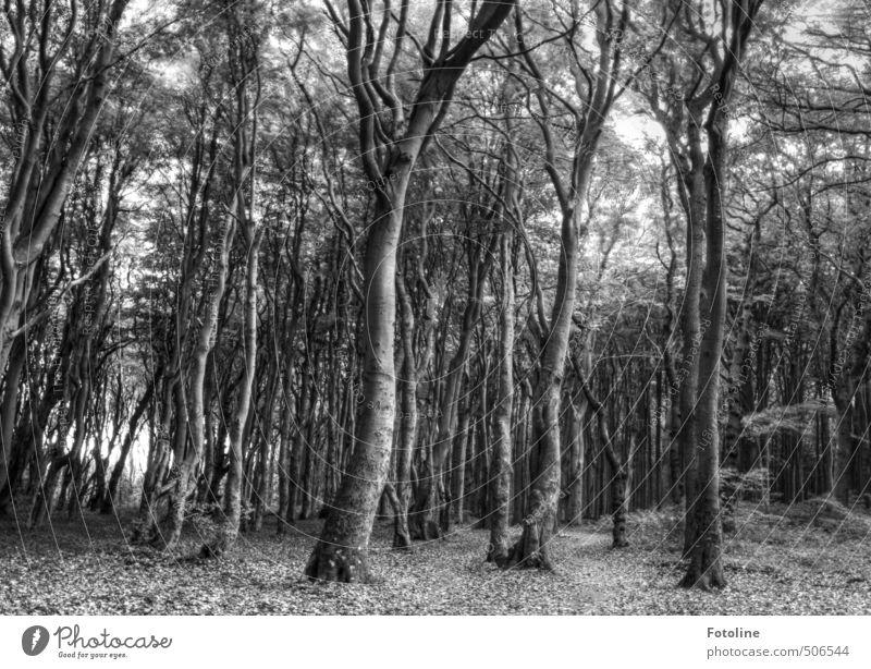 Nicht nur schwarz/weiß Umwelt Natur Landschaft Pflanze Baum Wildpflanze Wald grau geheimnisvoll dunkel Gespensterwald spukhaft HDR Schwarzweißfoto Außenaufnahme