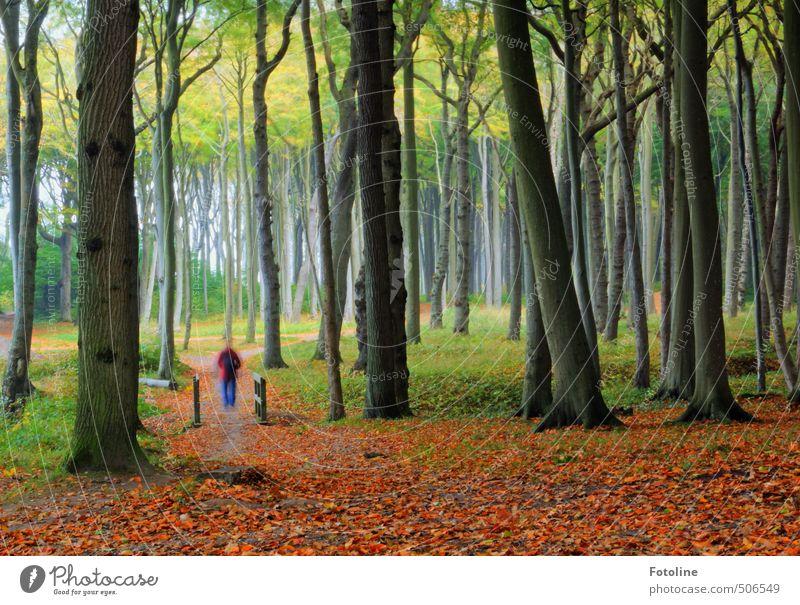 Gespensterwald mit Geist Mensch Umwelt Natur Landschaft Pflanze Urelemente Erde Herbst Baum Blatt Wald hell natürlich grün rot Geister u. Gespenster Buchenwald
