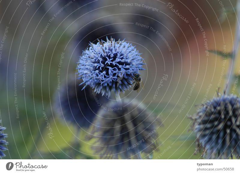 flower and bee Natur Blume blau Insekt Biene Botanik Wissenschaften Honig Staubfäden Nektar