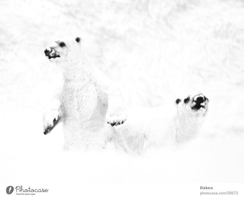 Achtung: Olfaktorische Wahrnehmung Eisbär Bär Fell Schnee Winter Arktis Antarktis Zoo Wittern Nordpol Polarkreis kalt Säugetier polar ours polaire