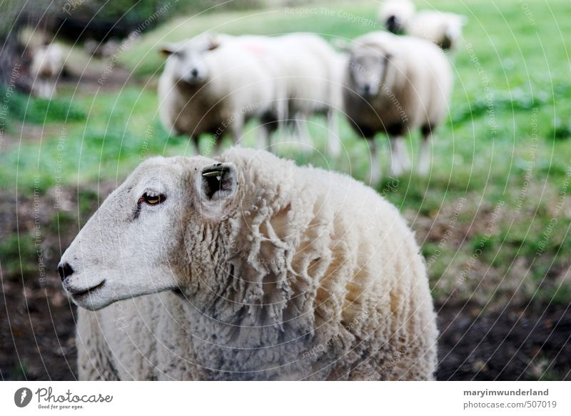 da lang. Umwelt Natur Wiese Feld Berge u. Gebirge Tier Nutztier Tiergesicht Fell Schaf Schafherde Schafswolle Schaffell Schafsbock 3 Tiergruppe Herde