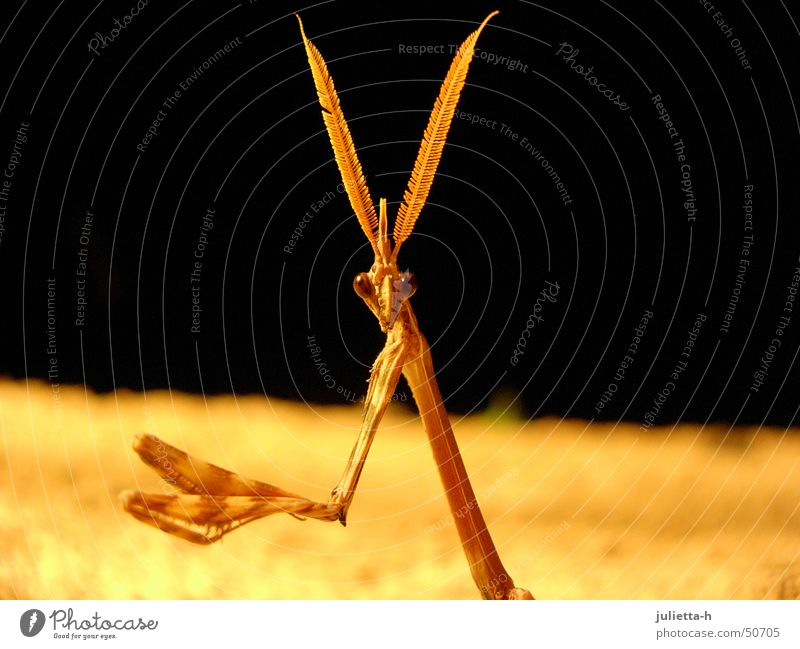 Vom Beten abgelenkt Insekt Gebet Fühler Provence Gottesanbeterin Fangschrecken
