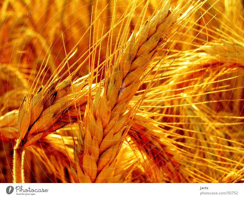 Kornfeld Sommer Feld Landwirtschaft Vegetarische Ernährung ären Getreide Sonne jarts