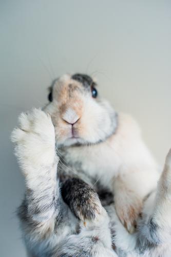 Abhängen Tier Haustier Tiergesicht Fell Krallen Pfote Hase & Kaninchen Zwergkaninchen Schnauze 1 liegen sitzen Coolness niedlich Gelassenheit Farbfoto