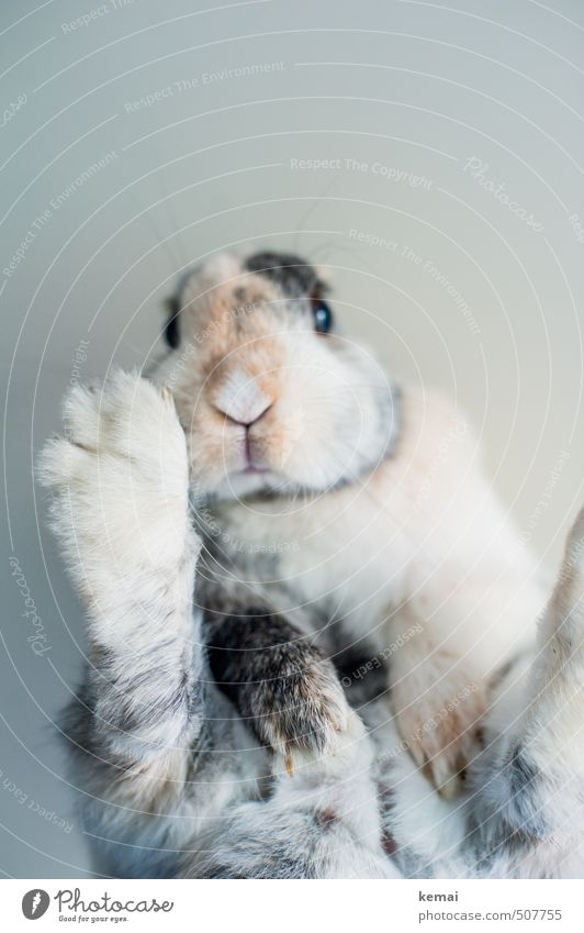 Abhängen Tier liegen sitzen niedlich Coolness Fell Gelassenheit Tiergesicht Haustier Hase & Kaninchen Pfote Schnauze Krallen Zwergkaninchen