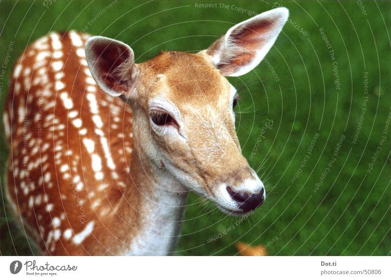 Rehrücken Natur Tier braun nah Tiergesicht Vertrauen Fell Zoo Neugier Wildtier niedlich Wachsamkeit sanft Säugetier Interesse