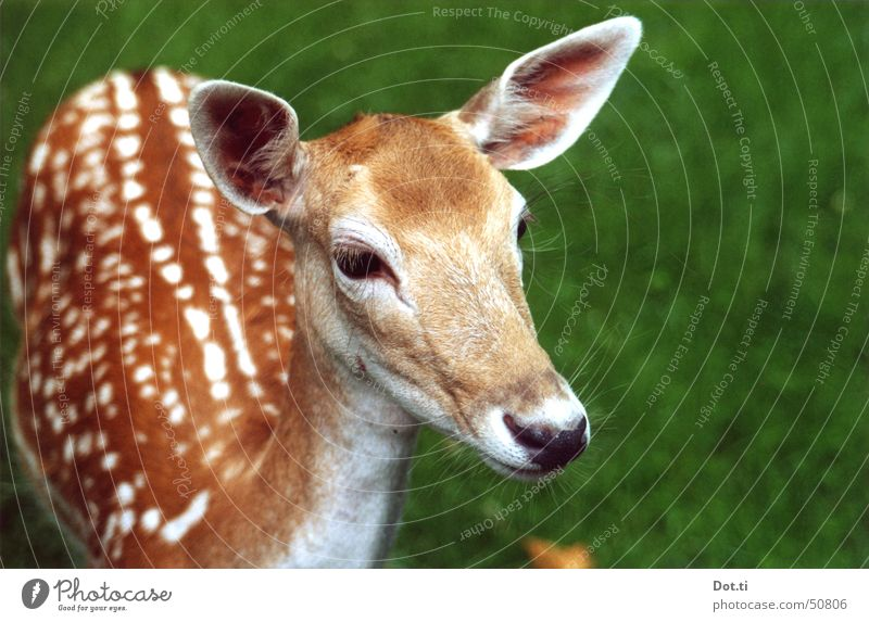 Rehrücken Natur Tier Wildtier Fell Zoo 1 nah Neugier niedlich braun Vertrauen Wachsamkeit Interesse Wildpark Rehauge Damwild zögern Säugetier sanft Fluchttier