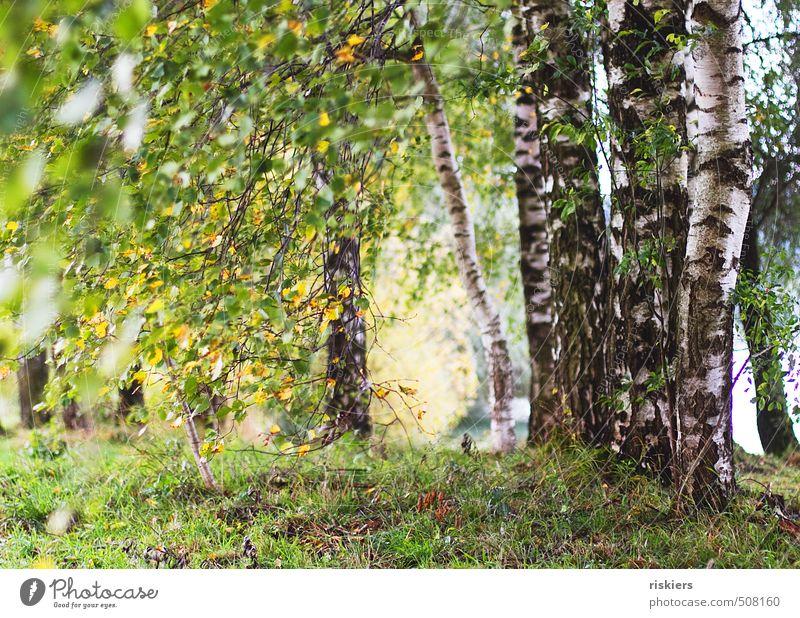 birkenwäldchen Natur grün Pflanze Sommer Sonne Baum Landschaft Wald gelb Umwelt Leben Herbst Wege & Pfade natürlich Park Idylle