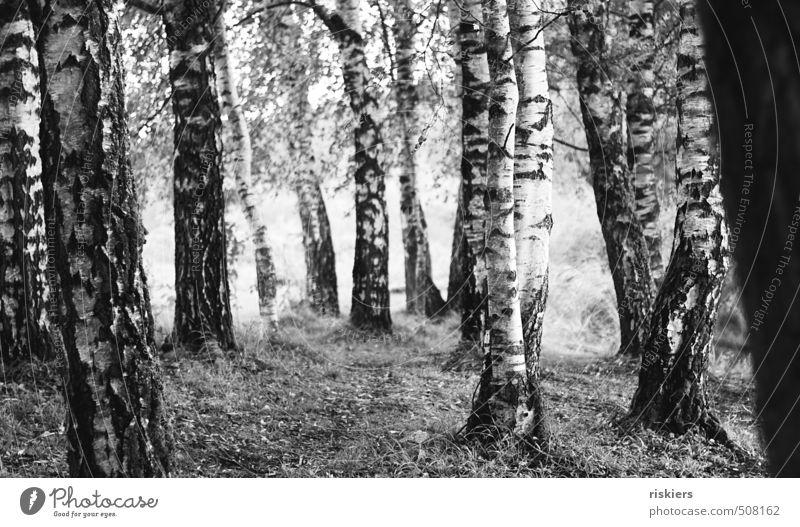 zwillingsbaum Umwelt Natur Pflanze Frühling Sommer Herbst Schönes Wetter Baum Birkenwald Wald Lebensfreude Frühlingsgefühle ruhig Idylle Wege & Pfade