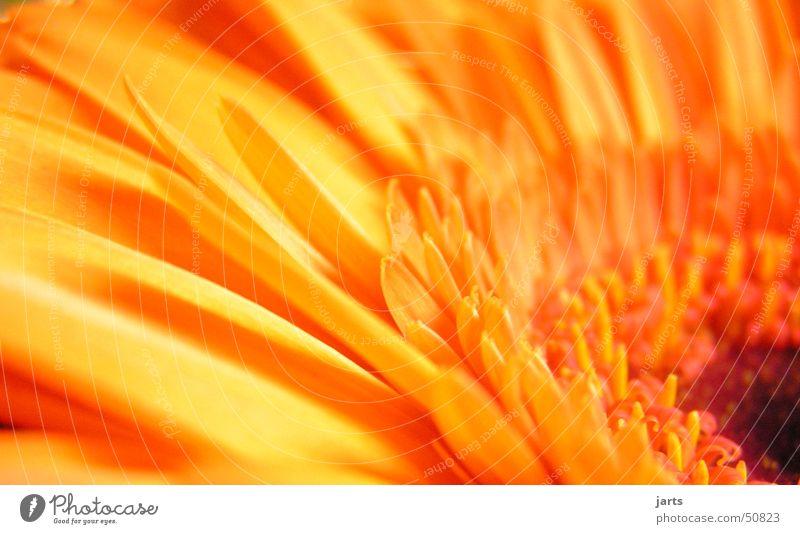 Flower Natur Blume Blüte Frühling orange Gerbera