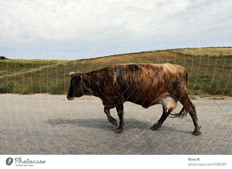 TigerKuh Himmel Natur Landschaft Tier Straße Wiese gehen Horizont braun Hügel Gelassenheit Nutztier