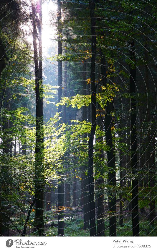 Ein Lichtblick Umwelt Natur Herbst Schönes Wetter Pflanze Baum Blatt Wald Duft Gesundheit grün Farbfoto Außenaufnahme Tag Sonnenlicht Sonnenstrahlen